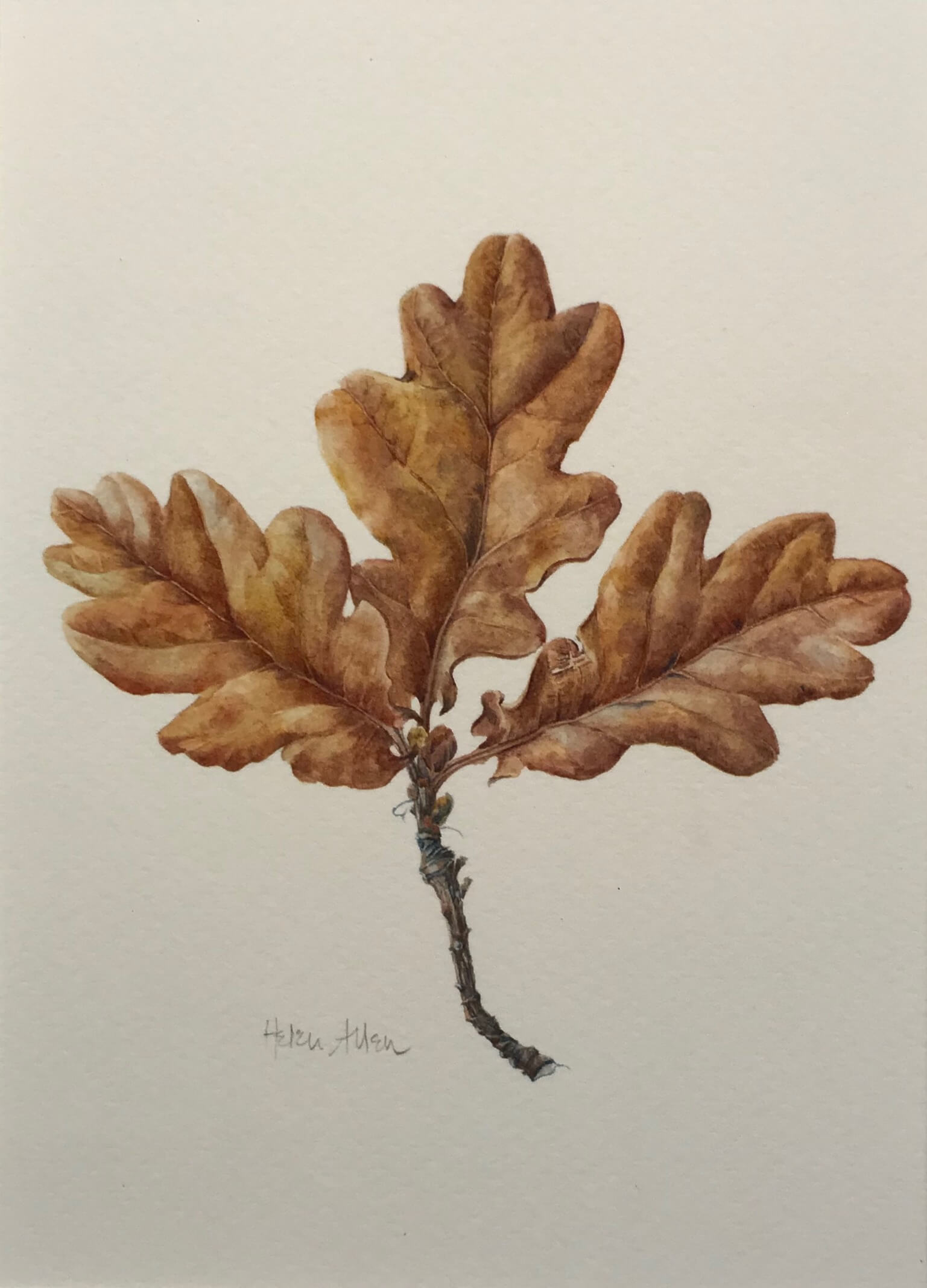 Botanical drawing of an oak leaf by artist Helen Allen - Art Tutor Clos Mirabel Painting Holidays France.