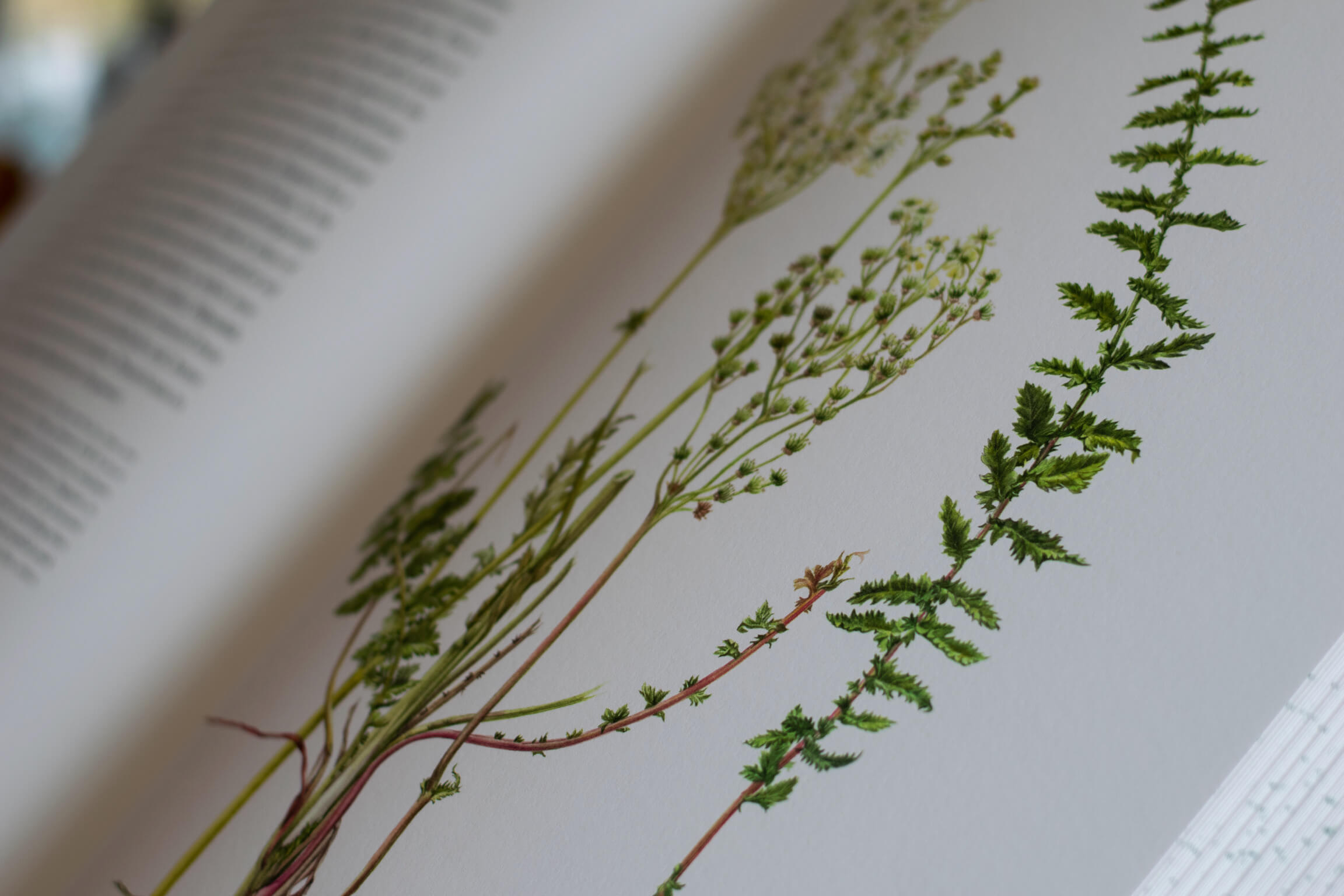 Botanical illustration of plants in a book.