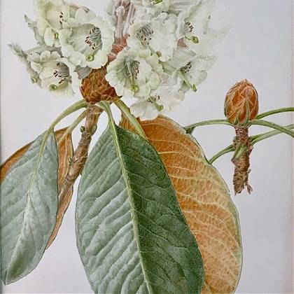 Botanical drawing by artist and tutor Helen Allen.